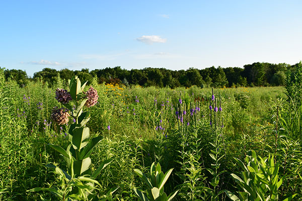 Purple-flowering milkweed in an open field.