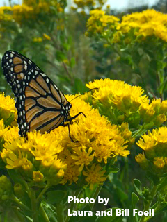 photo of monarch butterfly on goldenrod