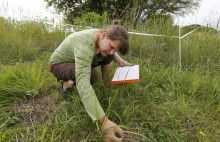 Graduate student Teresa Blader surveys milkweed plants for monarch eggs and larvae.