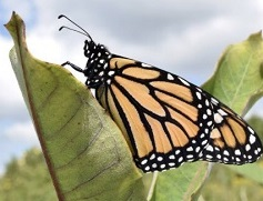 Photo of adult monarch butterfly on common milkweed plant