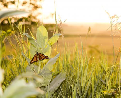 Monarch on milkweed at sunrise