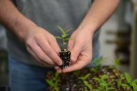 Milkweed seedling growing in a greenhouse at Iowa State University