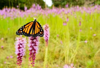 Female monarch on blazing star flower