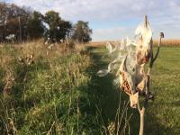 photo of common milkweed seed pods
