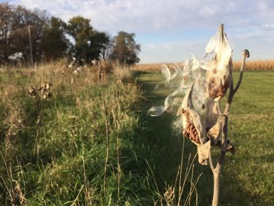 photo of common milkweed seed pods