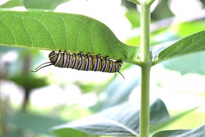 photo of monarch caterpillar on milkweed plant