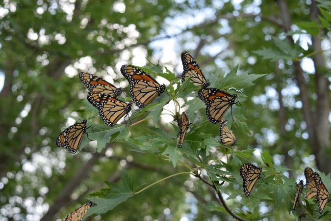 photo of monarch butterflies roosting