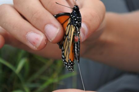 monarch butterfly with tracker attached