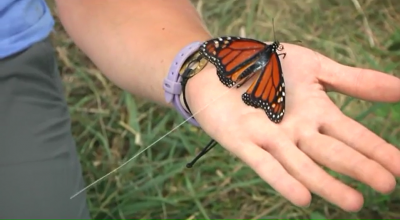 photo of radio telemetry transmitter on a monarch butterfly