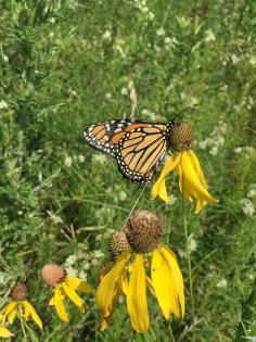 monarch butterfly with tracker on flower