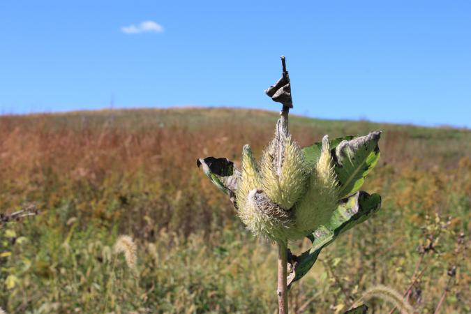 photo of common milkweed in native habitat plot