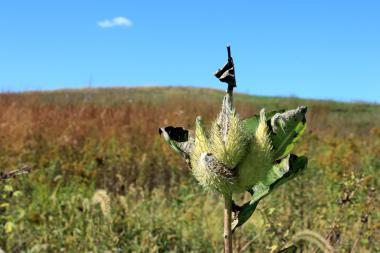 Milkweed seed pods in August