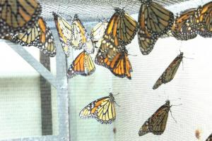 Photo of monarch colony