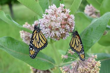two monarch butterfly on a purple blooming plant
