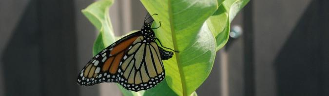 photo of monarch butterfly on a common milkweed