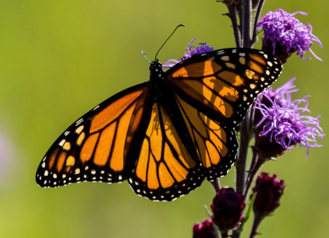 photo of monarch butterfly by Alec Euken