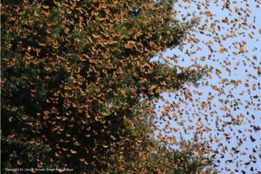 overwintering monarch butterflies flying in Mexico