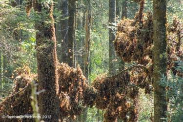 overwintering monarch butterflies in trees in Mexico