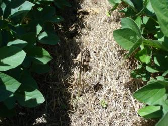 soybean field 18 days after spraying with dead milkweed