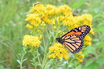Monarch butterfly on yellow milkweed
