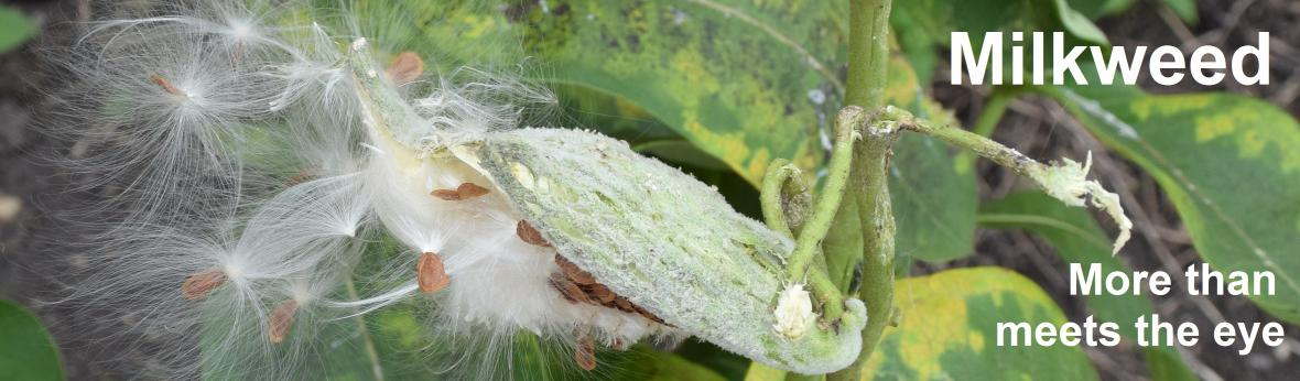 photo of common milkweed seed pod