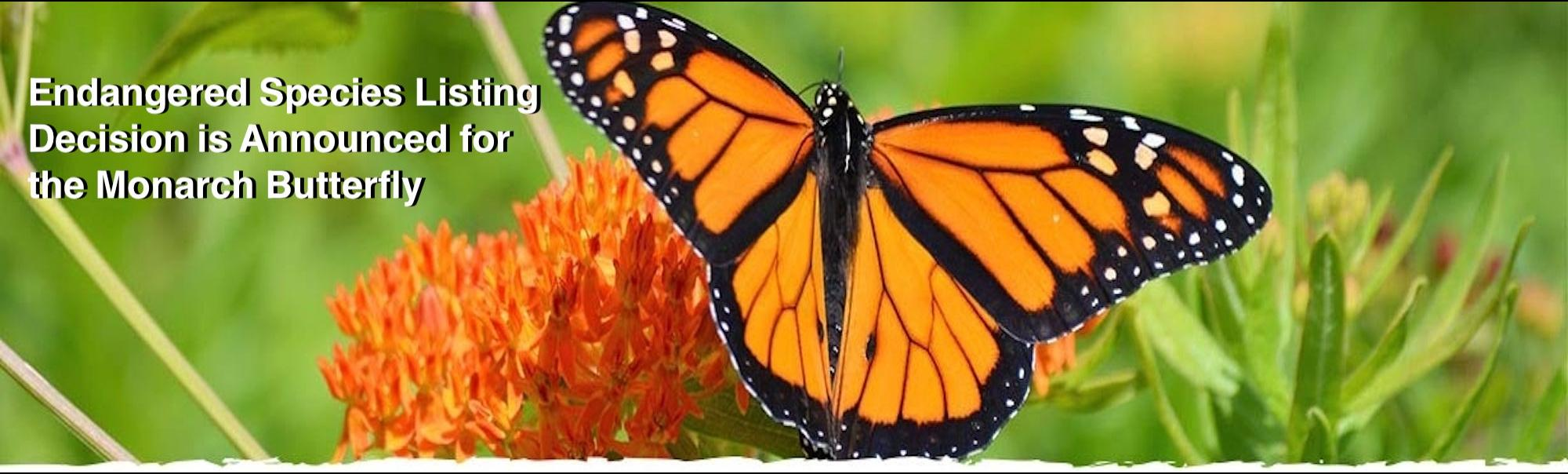 Endangered Species Listing Decision is Announced for the Monarch Butterfly